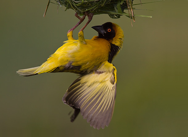 Black-Headed-Weaver-best-clinging-to-the-underside-of-its-nest,-Masai-Mara,-Kenya_MG_0775-{J}