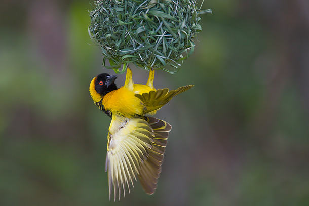 Black-Headed-Weaver-bird-clinging-to-underside-of-nest,-Masai-Mara,-Kenya_F2F6228-{J}