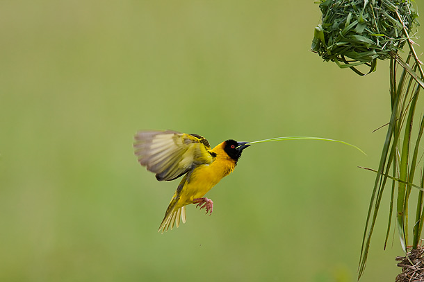Black-Headed-Weaver-bird-flying,-carrying-reed-to-build-nest,-Masai-Mara,-Kenya_F2F6847-{J}