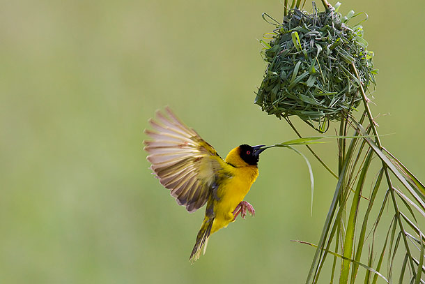 Black-Headed-Weaver-bird-flying-towards-nest-carrying-reed-for-nesting-material,-Masai-Mara,-Kenya_MG_0859-{J}