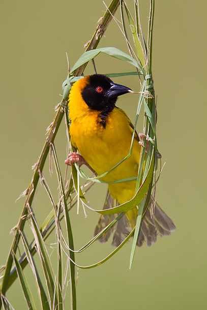 Black-Headed-Weaver-bird-making-nest,-Masai-Mara,-Kenya_MG_0455-{J}