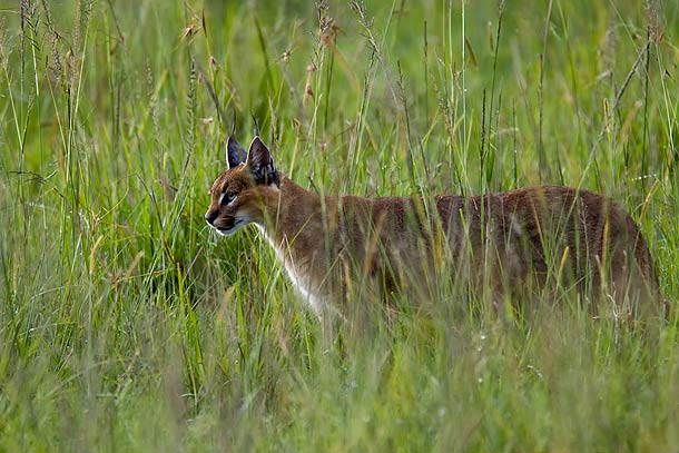 Caracal-in-long-grass,-Masai-Mara,-Kenya_MG_9835-{J}
