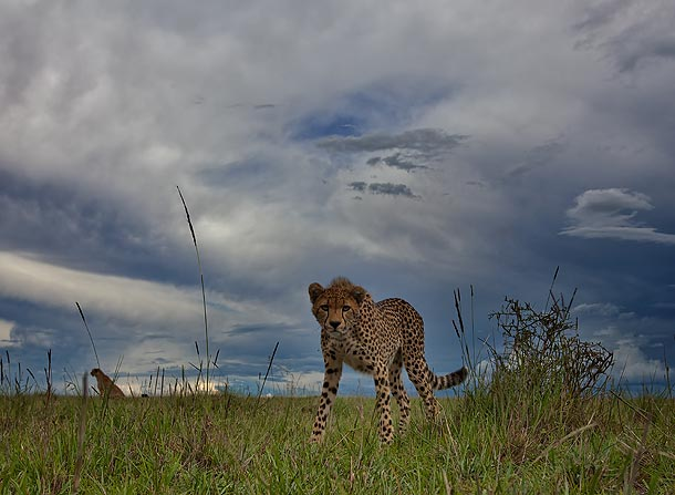 Cheetah-cub,-shot-from-ground-level,-Masai-Mara,-Kenya