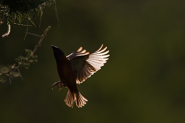 Chestnut-Weaver-flying-towards-nest-(backlit),-Tsavo-West-National-Park,-Kenya_F2F7447-{J}
