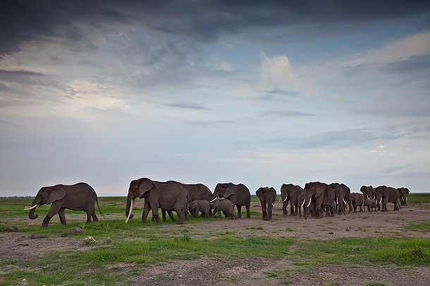 Elephant-herd,-Amboseli-National-Park,-Kenya