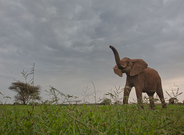 Elephant-with-raised-trunk-(shot-from-ground-level),-Amboseli-National-Park,-Kenya