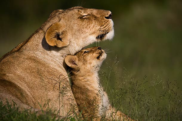 pictures of lions and lionesses. Lion-cub-nuzzling-with-Lioness