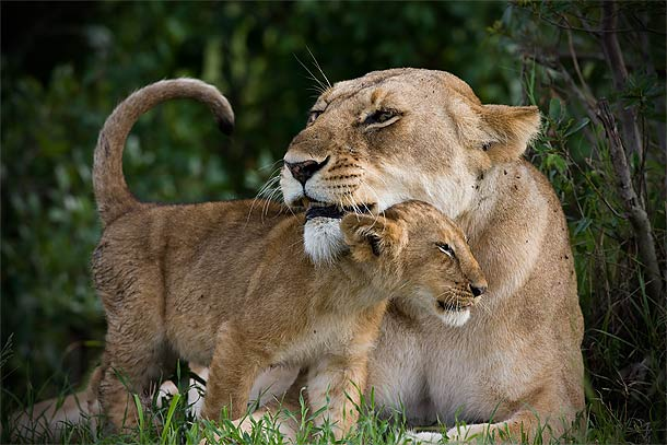 Lion-cun-snuggling-up-to-adult-Lioness,-Masai-Mara,-Kenya_F2F5921-{J}