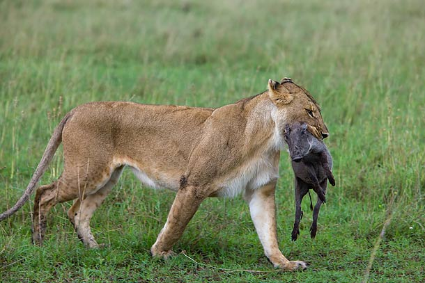 Lioness-carrying-Warthog-kill,-Masai-Mara,-Kenya_F2F6290-{J}