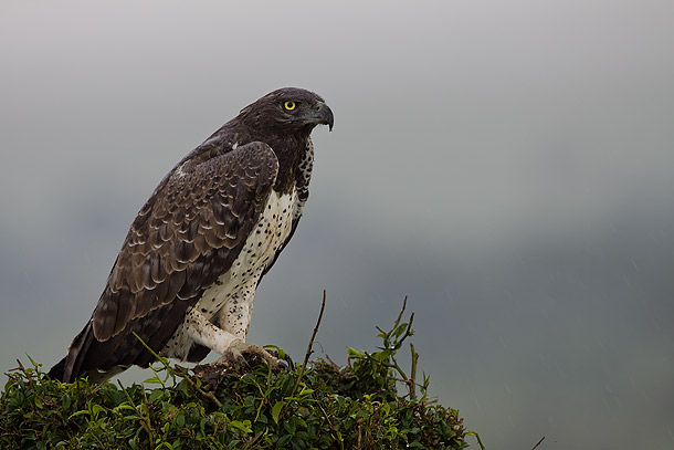 Martial-Eagle-in-the-rain,-Masai-Mara,-Kenya_MG_0924-{J}