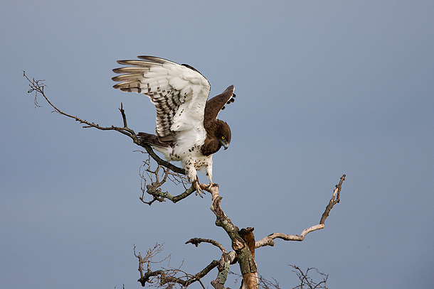 Martial-Eagle-on-tree-with-wings-raised,-Masai-Mara,-Kenya_F2F6369-{J}