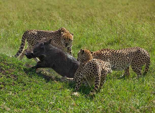 Three-male-Cheetahs-attacking-an-adult-warthog,-Masai-Mara,-Kenya_F2F6593-{J}