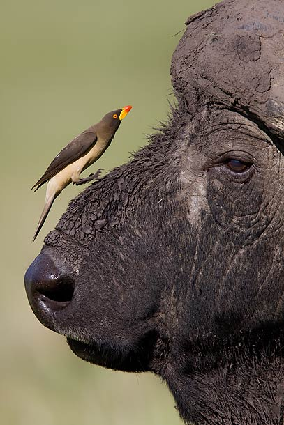 Yellow-Billed-Oxpecker-jumping-onto-Buffalo's-nose,-Masai-Mara,-Kenya_MG_9734-{J}
