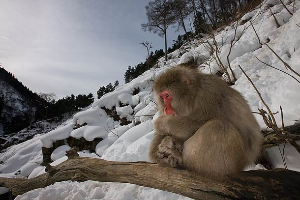 Adult-Japanese-Macaque,-Jigokudani,-Japan_F2F8173-{J}
