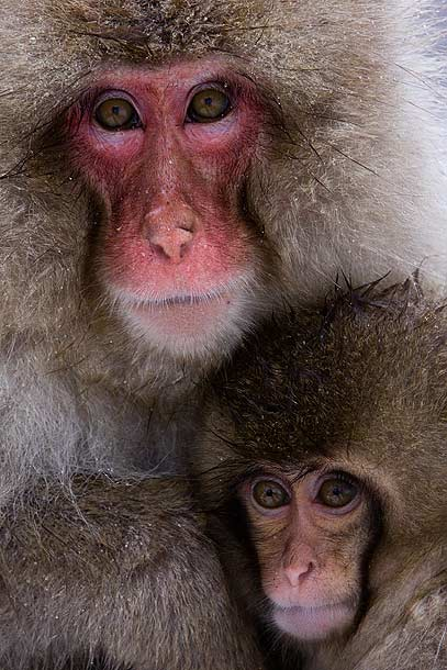 Adult-and-Juvenile-Japanese-Macaque-huddling-together,-Jigokudani,-Japan_MG_1649-{J}