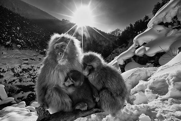 B&W-#2Japanese-Macaque-family-huddled-together-on-snow-covered-slope,-Jigokudani,-Japan_F2F8026-{J}