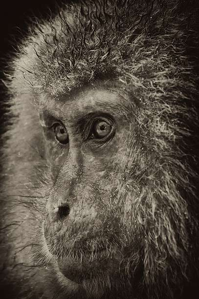 B&W-Japanese-Macaque-portrait,-Jigokudani,-Japan_MG_1532-{J}