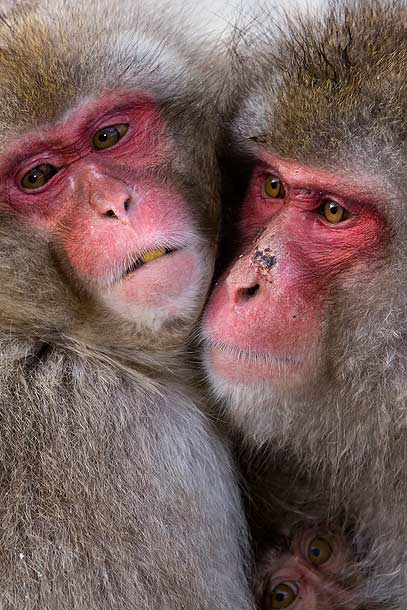 Japanese-Macaque-family-huddled-together,-Jigokudani,-Japan_MG_1731-{J}