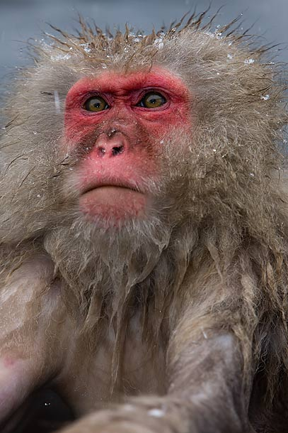 Japanese-Macaque-in-onsen,-Jigokudani,-Japan_F2F8212-{J}
