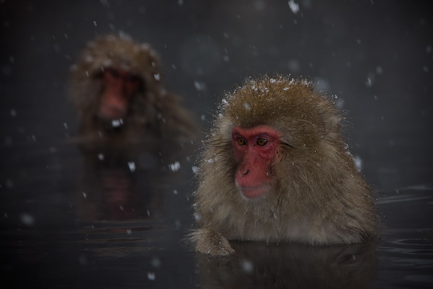 Japanese-Macaque-in-onsen-as-snow-falls,-Jigokudani,-Japan_F2F8206-{J}