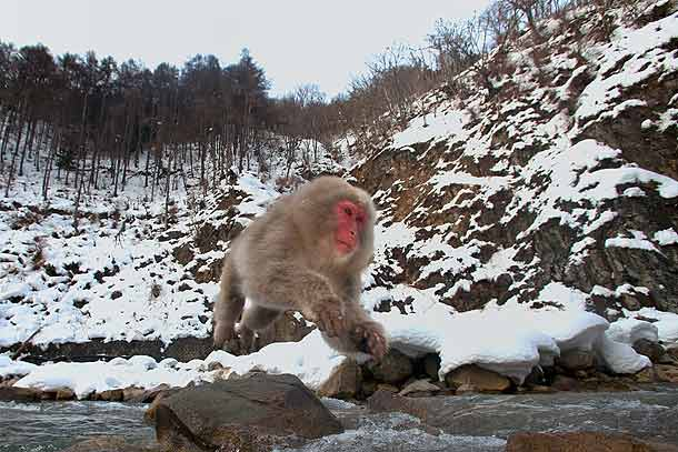 Japanese-Macaque-jumping-across-river,-Jigokudani,-Japan