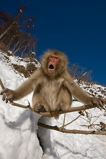 Japanese-Macaque-sitting-on-tree-branch-in-the-snow,-Jigokudani,-Japan_F2F8060-{J}