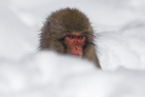 Juvenile-Japanese-Macaque-in-snow-drift,-Jigokudani,-Japan_MG_1504-{J}