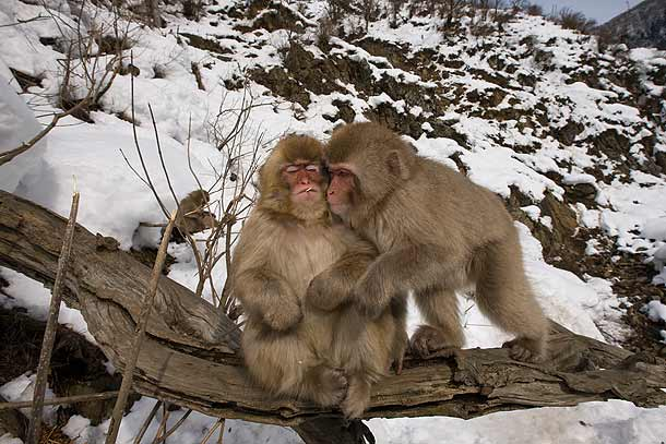 Two-juvenile-Japanese-Macaques-sitting-on-tree-branch-in-the-snow,-one-seemingly-smoking,-Jigokudani,-Japan_F2F8157-{J}