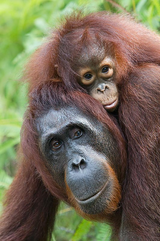 16a. Mother Orangutan Pongo pygmaeus carrying baby on shoulders Tanjung National Park Kalimantan Indonesia sydney adult massage. Erotic Massage from Sexy Blonde Girls Located in ...