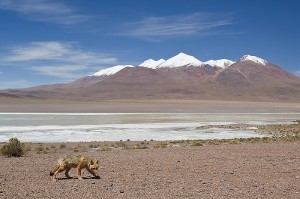 Inquisitive Andean Fox walking in the high altiplano of SW Bolivia