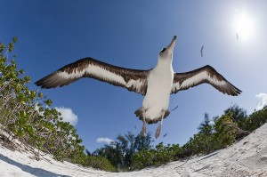 Laysan Albatross taking flight, close-focus, fish-eye, Sand Island, Midway Atoll, USA