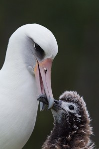 Adult Laysan Albatross touching bills with its chick, Sand Island, Midway Atoll, USA