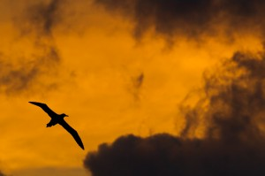 Laysan Albatross silhouetted in flight against orange hued, sunset sky and dark swirling clouds