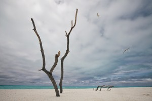 Embedded dead tree branches on beach with flying Laysan Albatross and Red-Tailed Tropic bird in the background