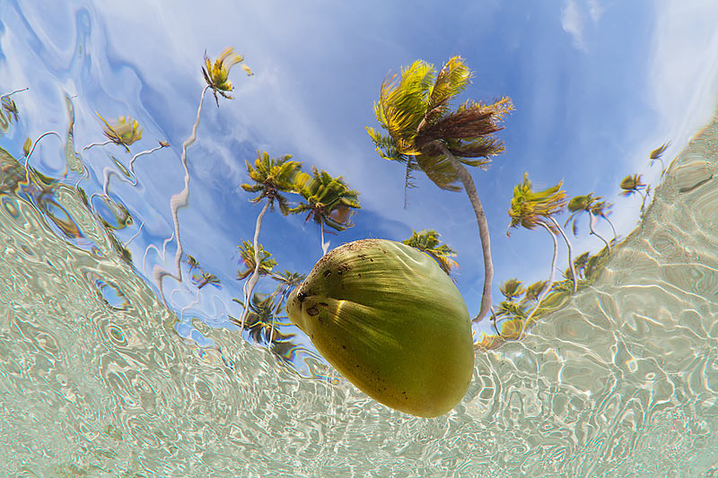 Coconut floating in the lagoon, viewed from underwater, French Polynesia [800*533] [OS]