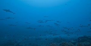 Large numbers of Grey Reef Sharks swimming over sand and coral sea bed