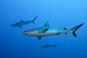 Grey-reef-sharks,-French-Polynesia