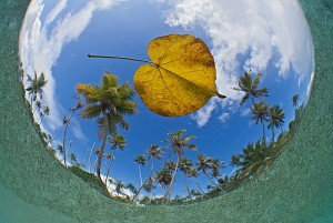 Fish-eye view of floating leaf and coconut palms shot from below the sea surface