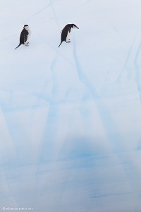 Chinstrap Penguins standing on near vertical iceberg face, South Orkney Islands, Southern Ocean