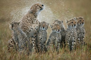 Cheetah mother shaking rain-drenched fur with her six cubs in close attendance, Masai Mara, Kenya