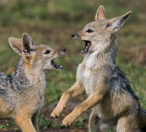 Black-Backed Jackal pups playing, Masai Mara, Kenya