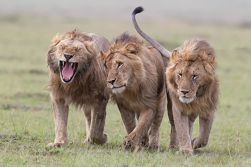 Lions walking together - photo#1