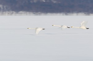 Whooper Swan trio flying low over frozen lake, with motion, Lake Kussharo, Hokkaido, Japan