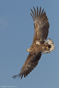 White-Tailed Eagle in flight, Akan Crane Centre, Hokkaido, Japan
