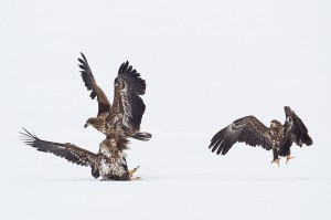 White-Tailed Eagles squabbling over fish on frozen lake, Lake Furen, Hokkaido, Japan
