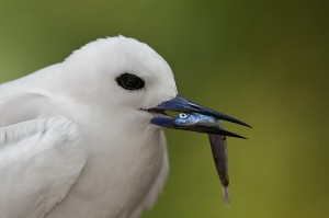 Adult White Tern holding fish in its bill, Midway Atoll, USA