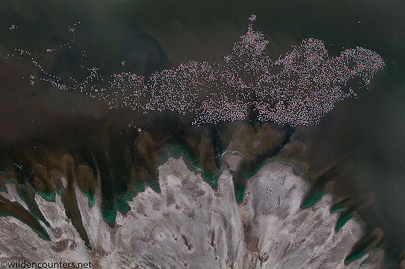 Aerial view of Lesser Flamingos beside the lake shore delta of Lake Natron, Tanzania, Canon 1D MK4, Canon 70-200mm f2.8 IS lens @70mm, handheld, 1/2,000 sec, f4, ISO 500, AV at -1