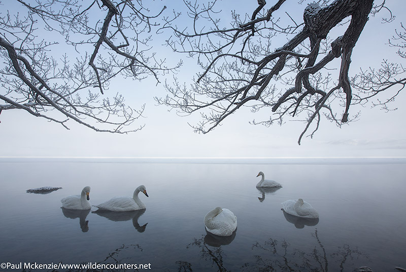 1. Whooper Swans on lake at dawn under snow covered tree branches, Lake Kussharo, Hokkaido, Japan