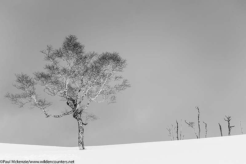 11. Trees on snow covered slopes, Hokkaido, Japan_74A9040 {J}