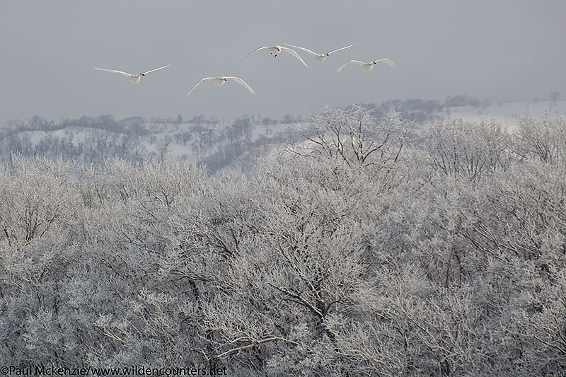 2. Whooper Swans flying over hoar frost covered trees, Lake Kussharo, Hokkaido, Japan